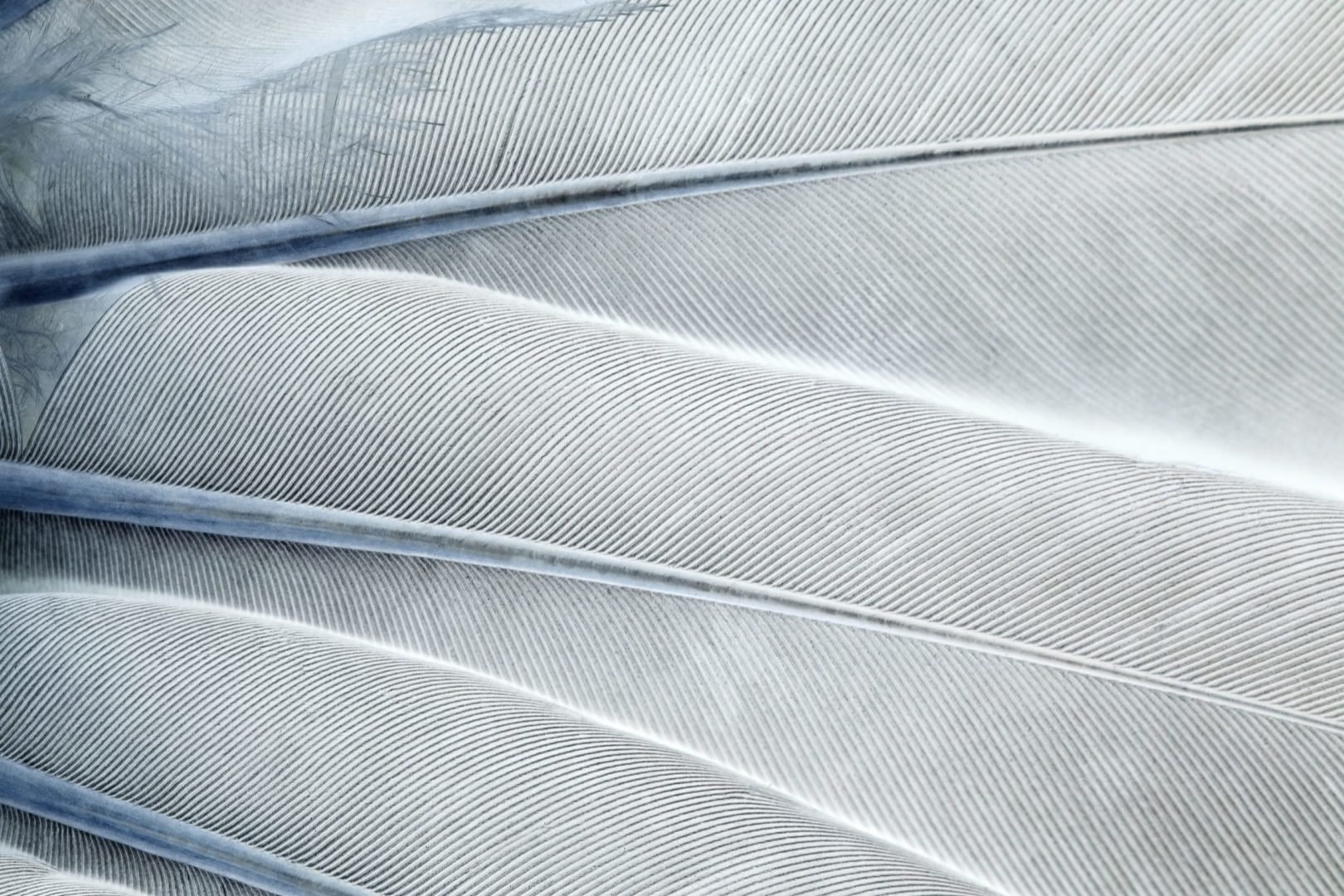 Abstract feather background, gray and blue